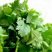 All About Growing Cilantro