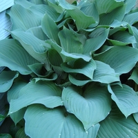 All About Hostas -- Hostas 101