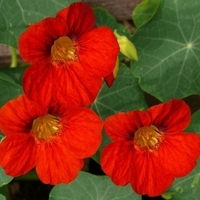 Best Annuals for Your Vegetable Garden