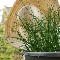 All About Growing Chives