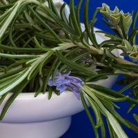 All About Growing Rosemary