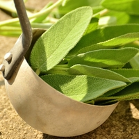 All About Growing Sage