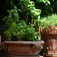 All About Growing Basil