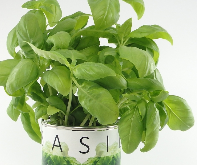 Basil plant growing in a pot