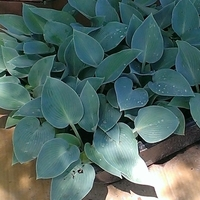 Why Blue Hostas turn Green?