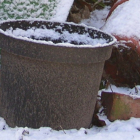 Overwintering Your Potted Hostas