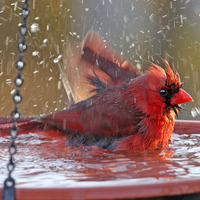 Cleaning and Sanitizing your Birdbaths