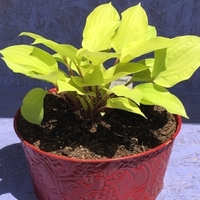 Growing Hostas in Pots