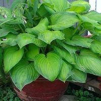 Fast-Growing Hostas