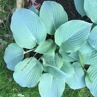 Blueberry Muffin Hosta