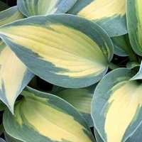 Dream Queen Hosta