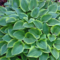 Golden Tiara Hosta