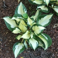 Loyalist Hosta