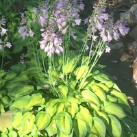 Tick Tock Hosta